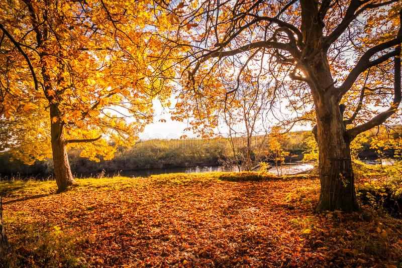 Bello, paesaggio dorato di autunno con gli alberi e foglie dorate nel sole in Scozia fotografie stock libere da diritti
