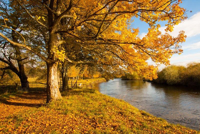 Bello, paesaggio dorato di autunno con gli alberi e foglie dorate nel sole in Scozia immagine stock