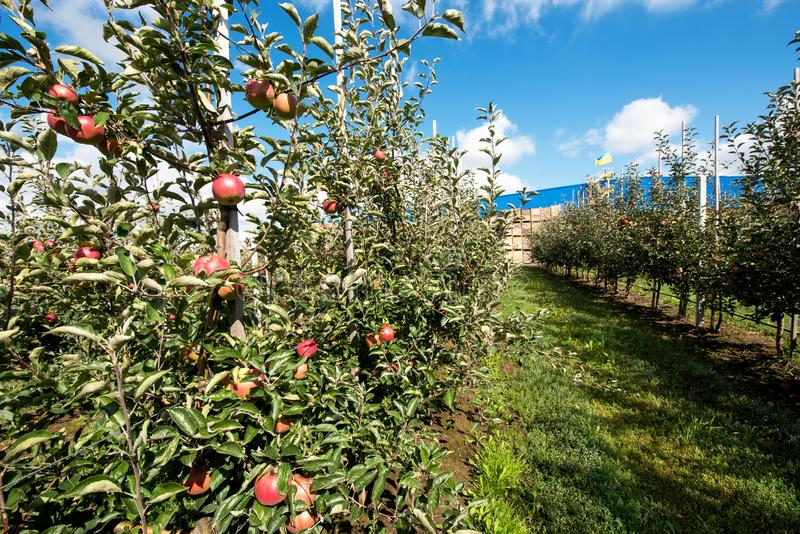 Bello paesaggio ottimista con le mele nel giardino della mela fotografie stock libere da diritti