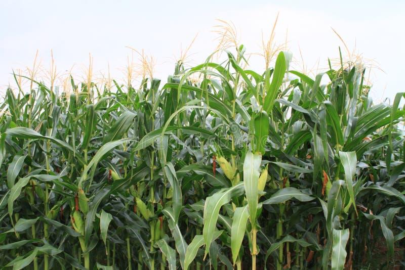 bello paesaggio verde del cielo blu dell'ambiente di vista del campo di grano fotografia stock