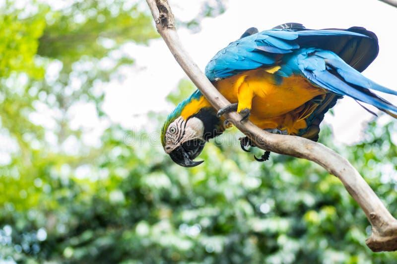 Bello pappagallo blu che si appollaia sul ramo dell'albero immagini stock