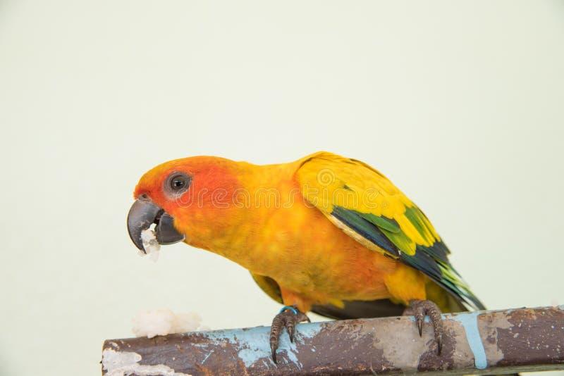 Bello pappagallo giallo, uccello di conuro di Sun del primo piano che mangia alimento immagini stock libere da diritti
