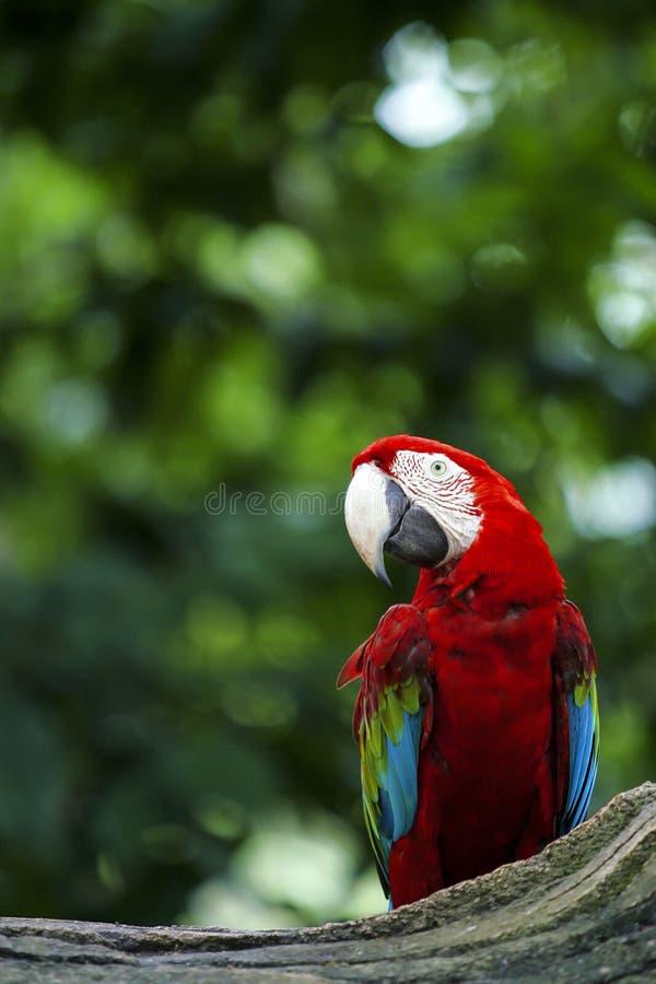 Bello pappagallo Rosso e verde dell'ara fotografie stock