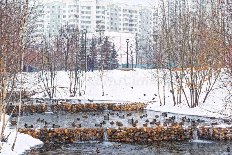 Bello parco della città sulle periferie della città Inverno, cielo triste e forte nevicata Le anatre ibernano in una corrente non immagine stock libera da diritti