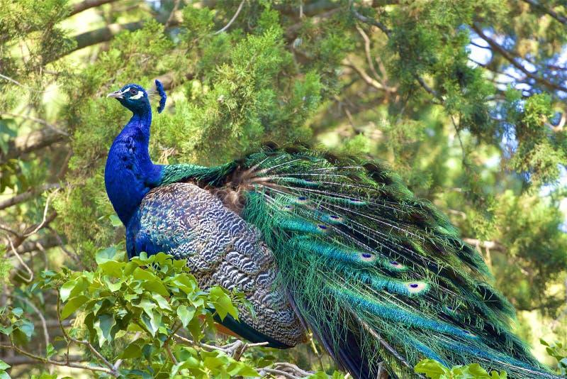 Bello pavone che si siede nell'albero, Spagna immagine stock