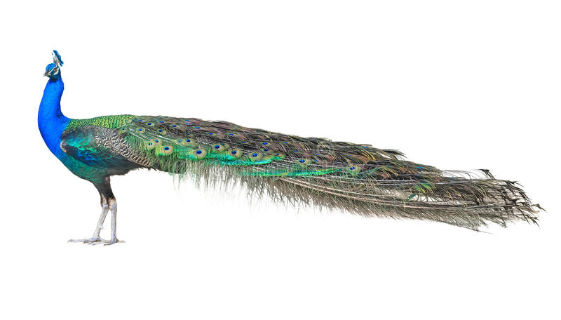 Bello pavone indiano maschio isolato su fondo bianco immagine stock