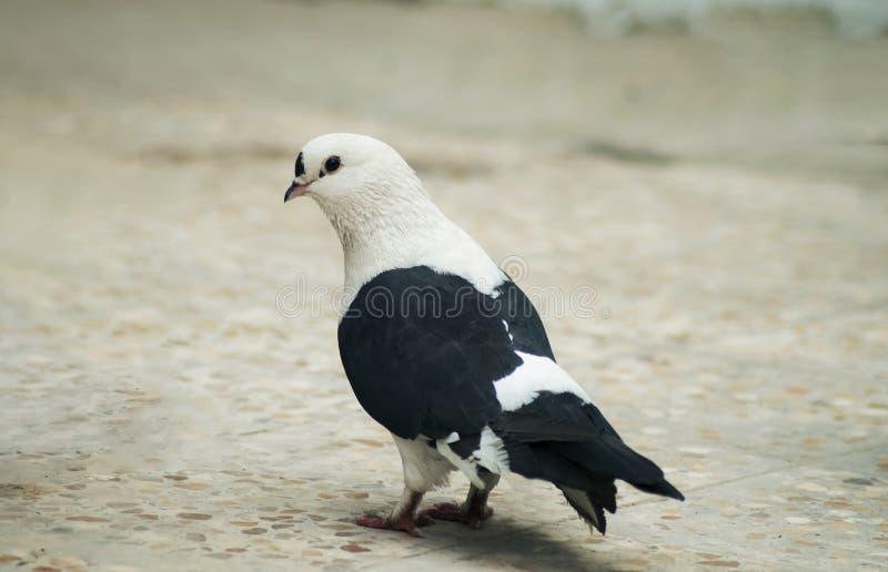 Bello piccione al pavimento fotografia stock