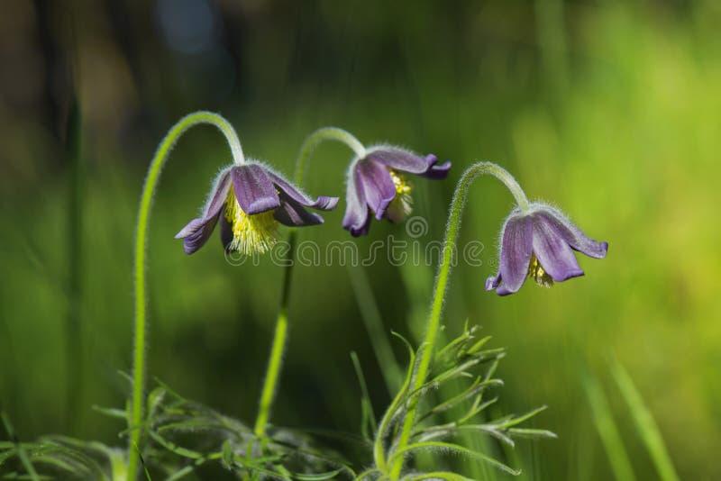 Bello piccolo fiore porpora della primavera Pulsatilla Montana immagine stock libera da diritti
