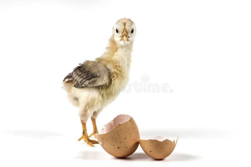 Bello piccolo pollo fotografia stock libera da diritti