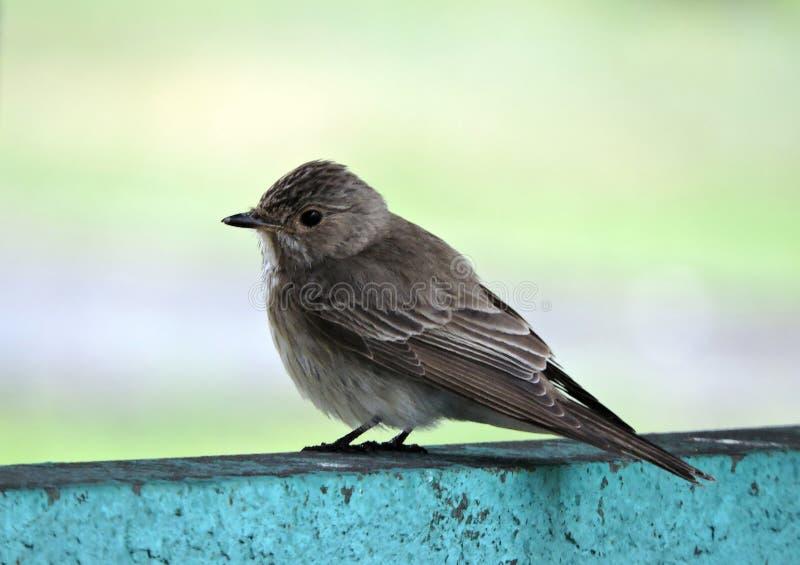 Bello piccolo uccello su superficie metallica, Lituania fotografia stock libera da diritti