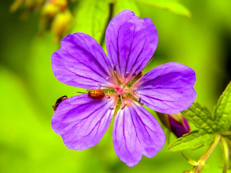 Bello pratense porpora del geranio del fiore selvaggio con un insetto rosso su un prato di verde di estate fotografia stock libera da diritti