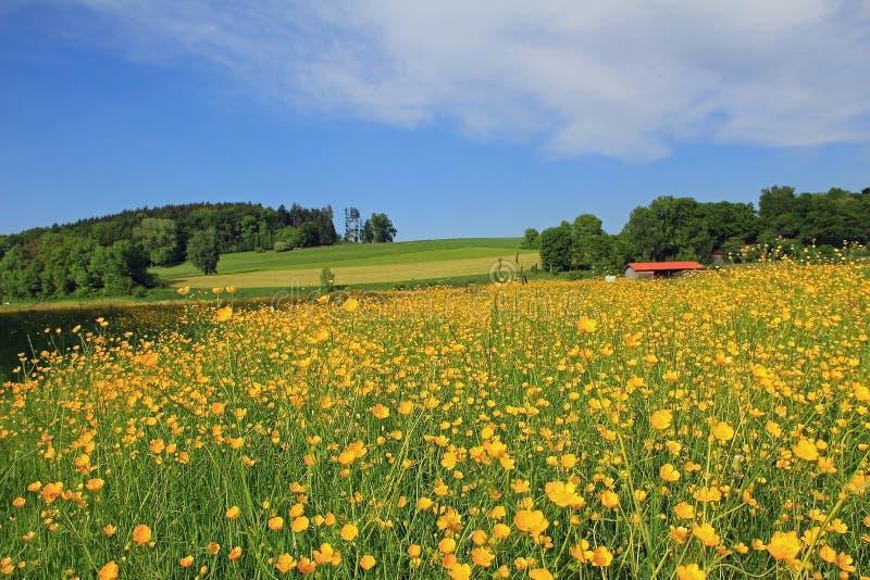 Bello prato del ranuncolo, paesaggio tedesco immagine stock