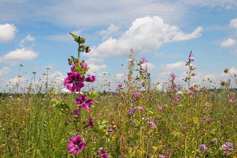Bello prato del wildflower con le alte malve immagine stock