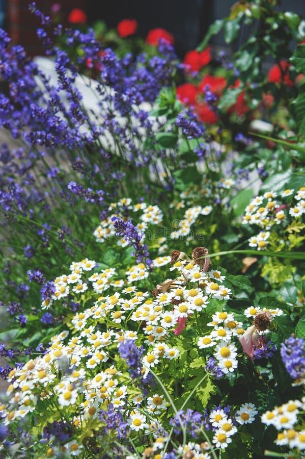 Bello prato inglese con differenti colori e prato inglese un giorno soleggiato landscaping La composizione di piccoli fiori immagine stock libera da diritti