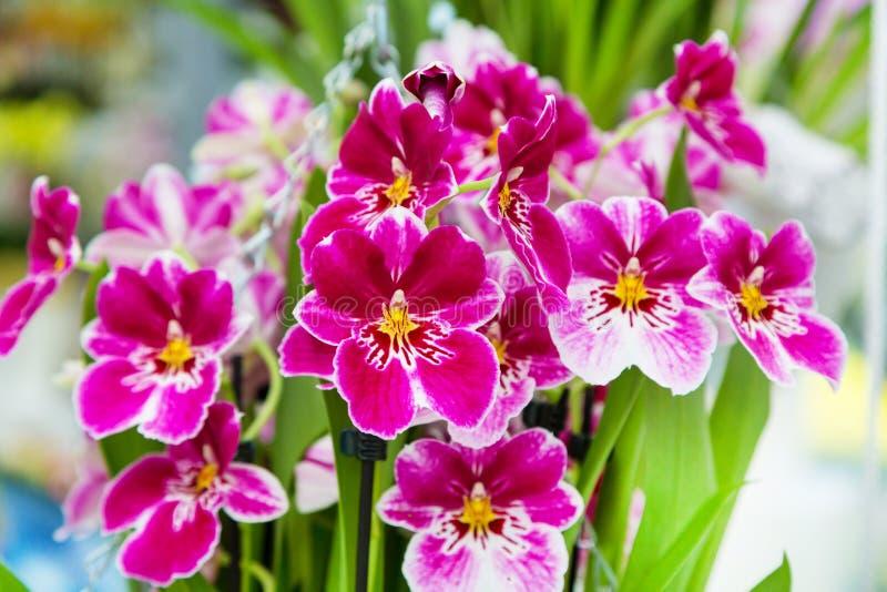 Bello primo piano bianco e porpora del fondo del fiore dell'orchidea immagini stock
