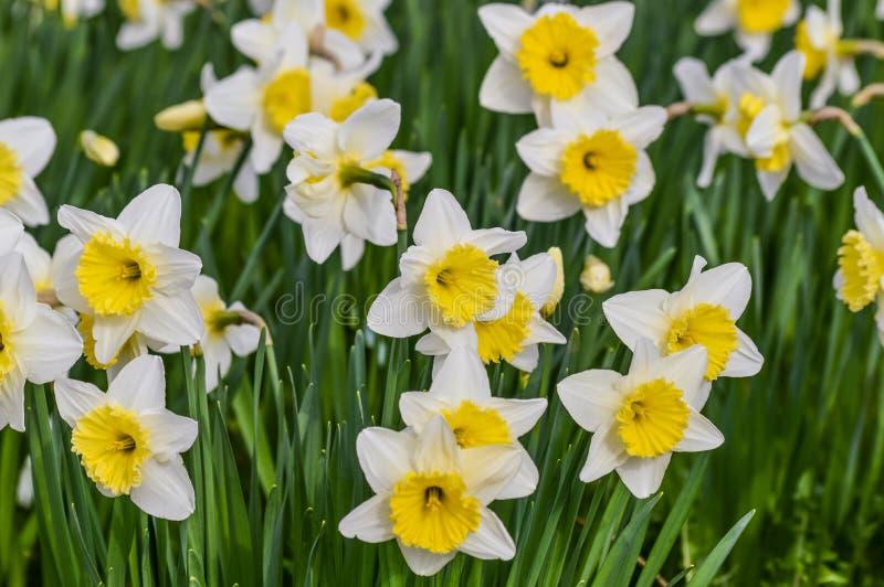 Bello primo piano del giacimento di fiori del narciso in primavera fotografie stock