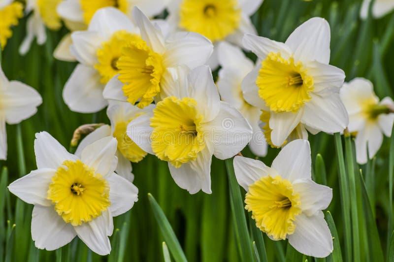 Bello primo piano del giacimento di fiori del narciso in primavera immagini stock