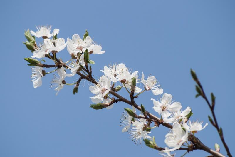 Bello primo piano del ramo della prugna e dei fiori bianchi nella primavera fotografie stock