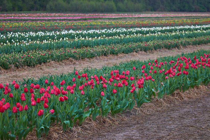 Bello primo piano dell'aiola dei tulipani Priorit? bassa del fiore fotografia stock
