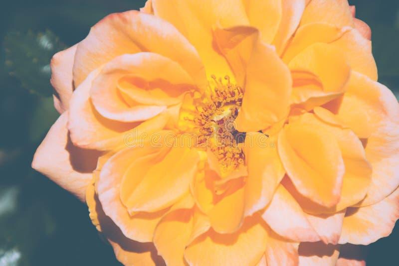 Bello primo piano della rosa di giallo immagini stock