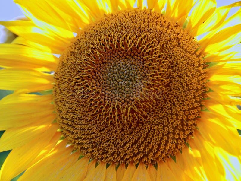 Bello primo piano di grande girasole di fioritura immagini stock