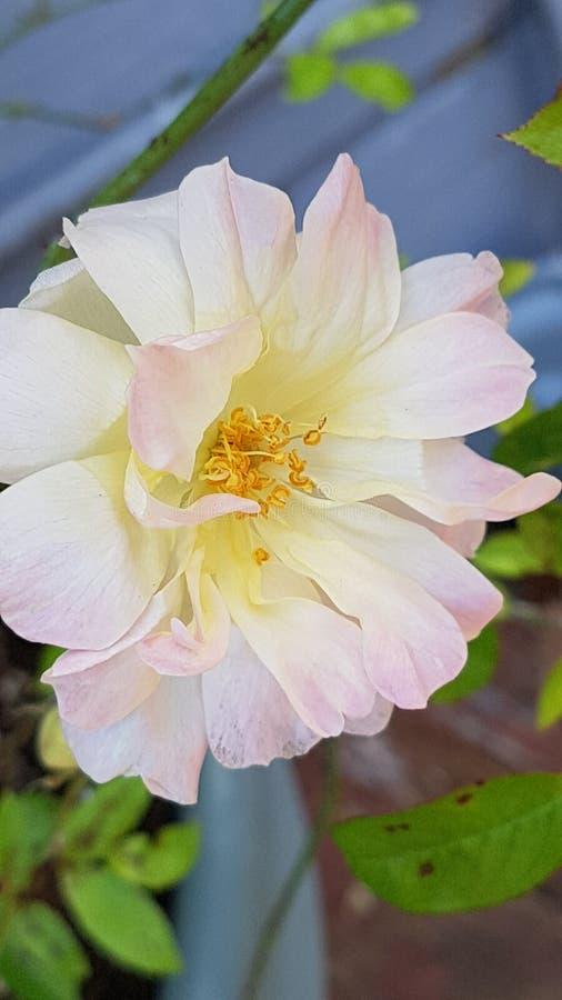 Bello primo piano di una rosa rosa e bianca fotografie stock libere da diritti