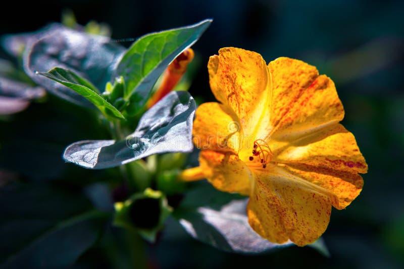 Bello primo piano diuretico decorativo e curativo del fiore del mirabilis immagini stock