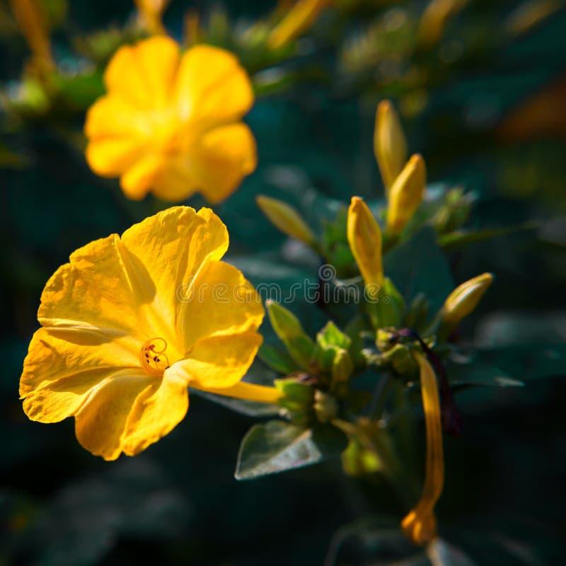 Bello primo piano diuretico decorativo e curativo del fiore del mirabilis fotografia stock libera da diritti