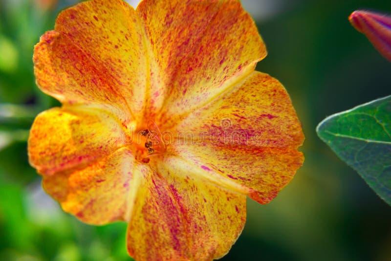 Bello primo piano diuretico decorativo e curativo del fiore del mirabilis immagini stock libere da diritti