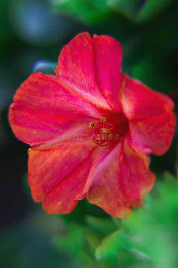 Bello primo piano diuretico decorativo e curativo del fiore del mirabilis fotografia stock