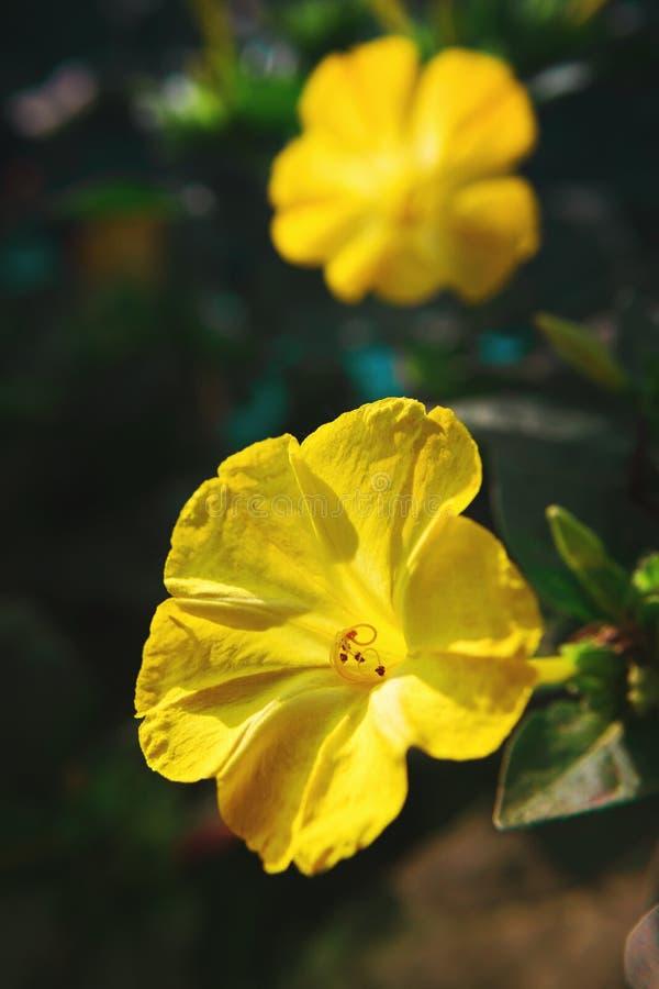 Bello primo piano diuretico decorativo e curativo del fiore del mirabilis immagine stock