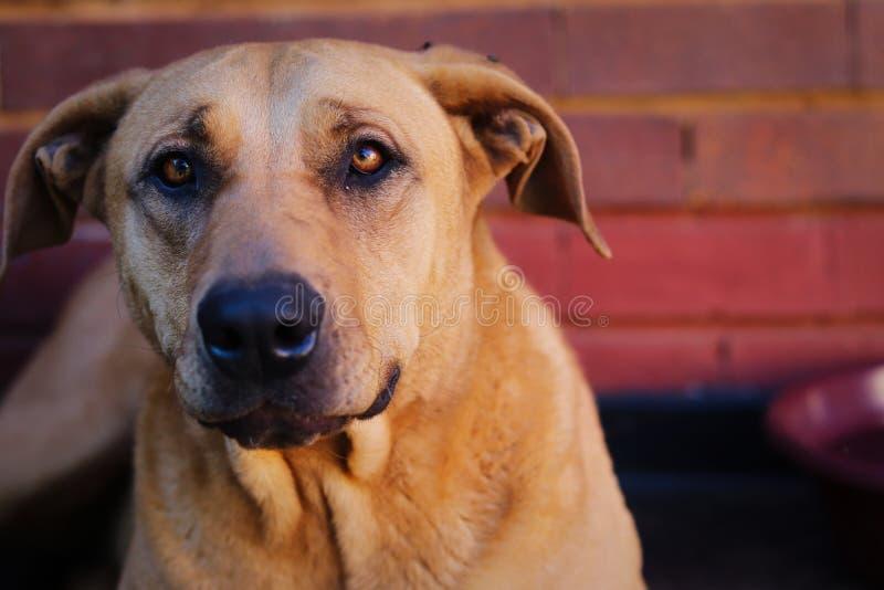 Bello primo piano Rhodesian Ridgeback del ritratto del cane fotografia stock libera da diritti
