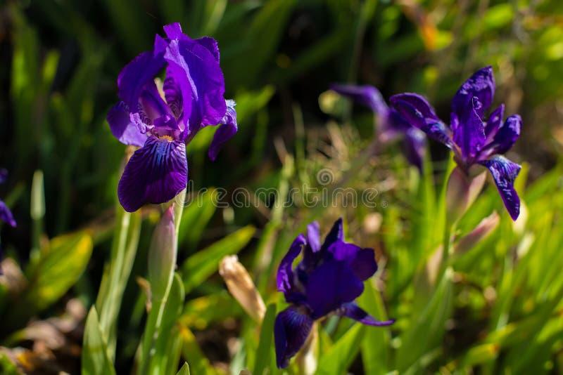 Bello pumila porpora dell'iride del fiore dell'iride nell'erba immagine stock