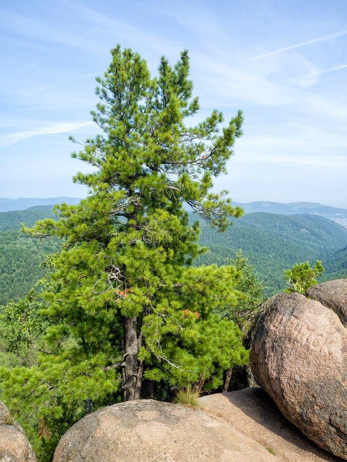 Bello punto di vista di cedro siberiano che cresce fra le rocce fotografia stock