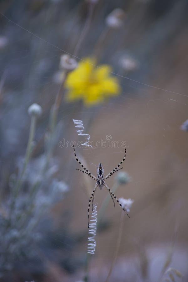 Bello ragno di giardino con il dettaglio di web contro suolo desertico ed il fiore giallo fotografia stock