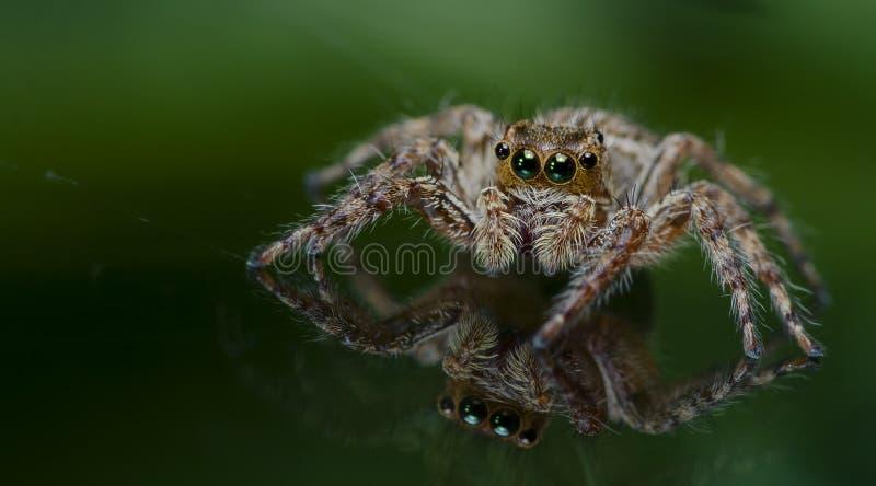 Bello ragno su vetro, ragno di salto in Tailandia fotografia stock libera da diritti