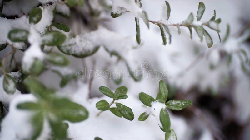 Bello ramo con le foglie verdi nella caduta tarda o nell'inverno in anticipo sotto la neve La prima neve, fiocchi della neve cade fotografia stock