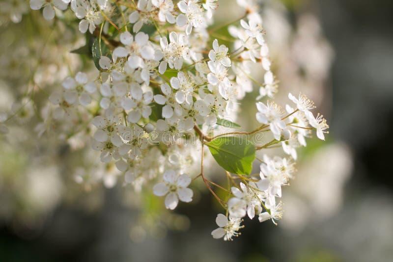 Bello ramo dei fiori del ciliegio fotografie stock