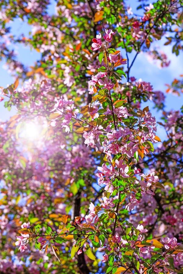 Bello ramo dei fiori del fiore con il rosa ed i petali rossi su fondo di cielo blu Fondo di Pasqua con il fiore che fiorisce dent fotografie stock