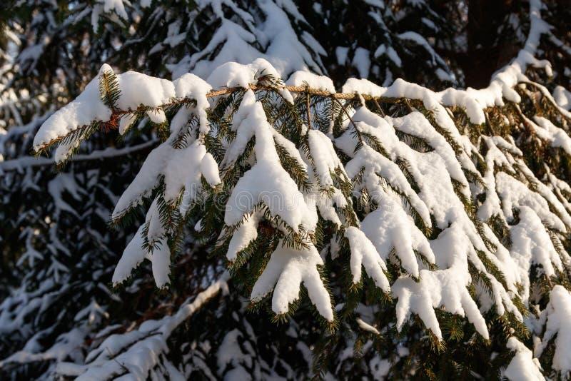 Bello ramo dell'abete coperto di neve immagini stock