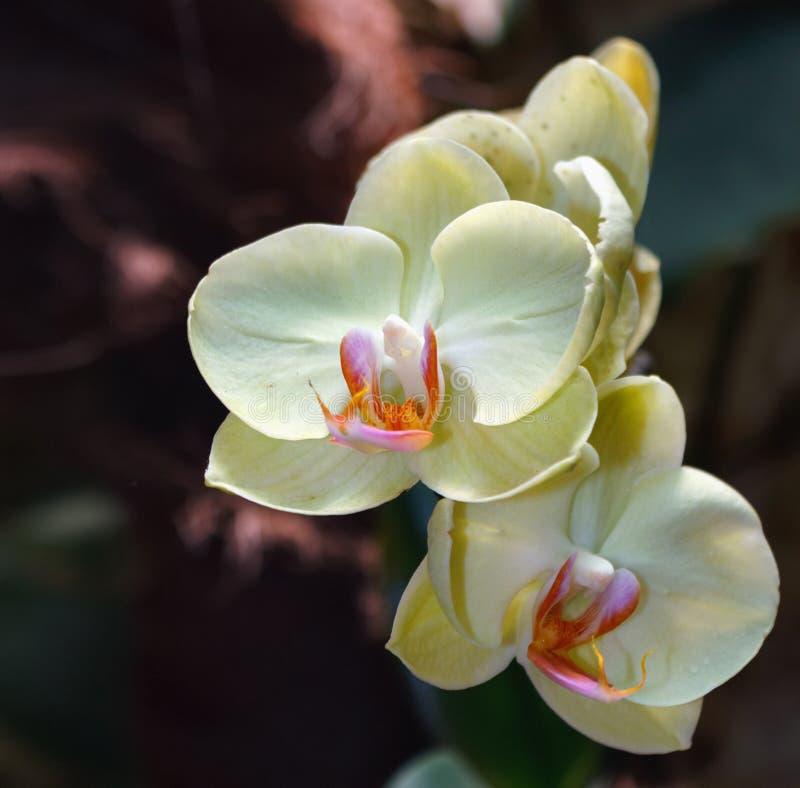 Bello ramo dell'orchidea su fondo vago estratto fotografie stock