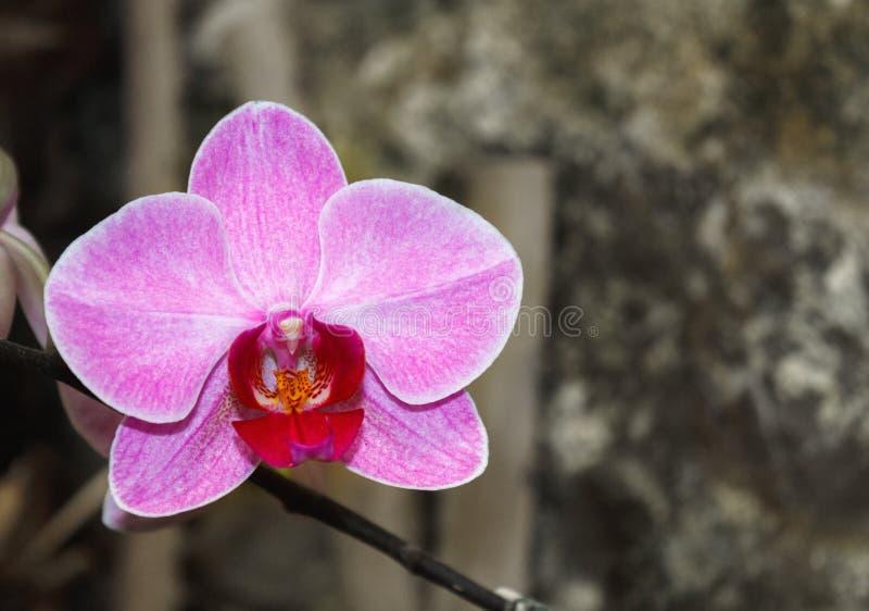 Bello ramo dell'orchidea su fondo vago estratto immagine stock libera da diritti