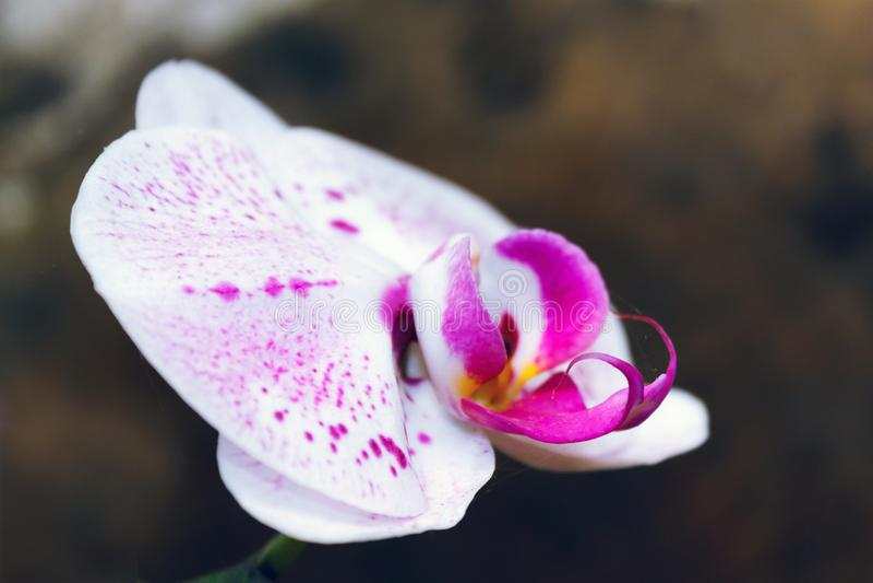Bello ramo dell'orchidea su fondo vago estratto fotografia stock libera da diritti
