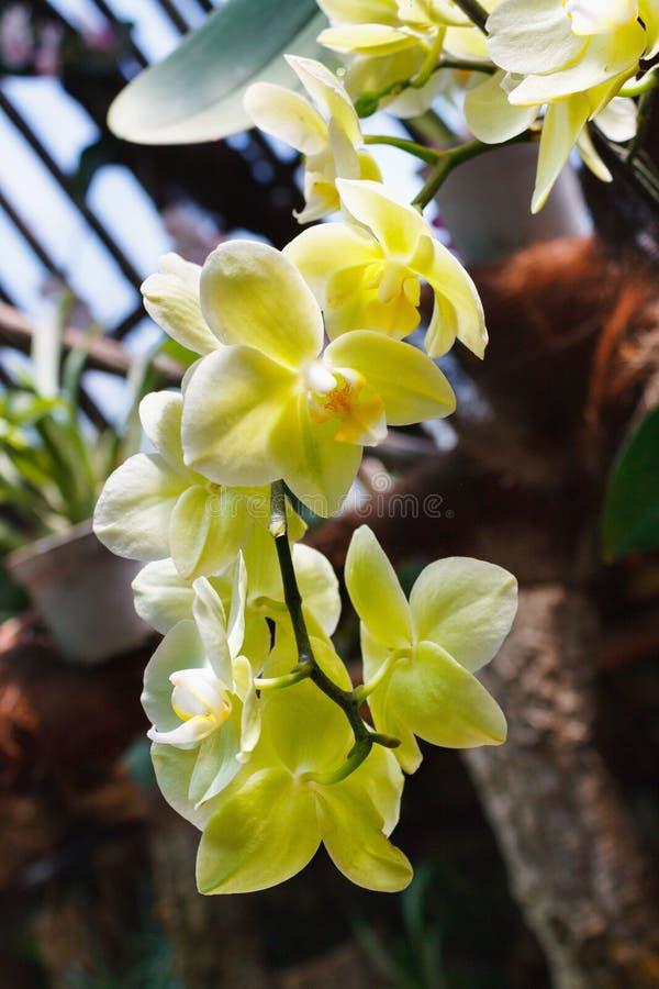 Bello ramo dell'orchidea su fondo vago estratto immagine stock