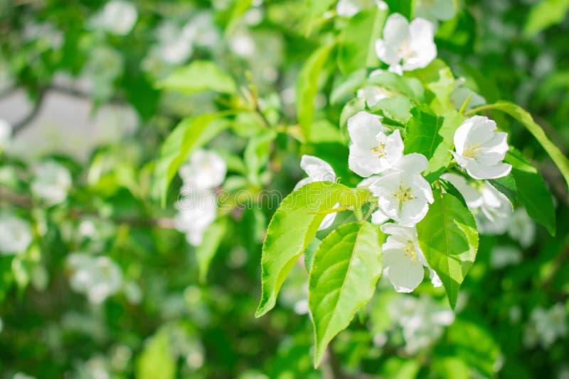 Bello ramo di melo in fioritura immagini stock