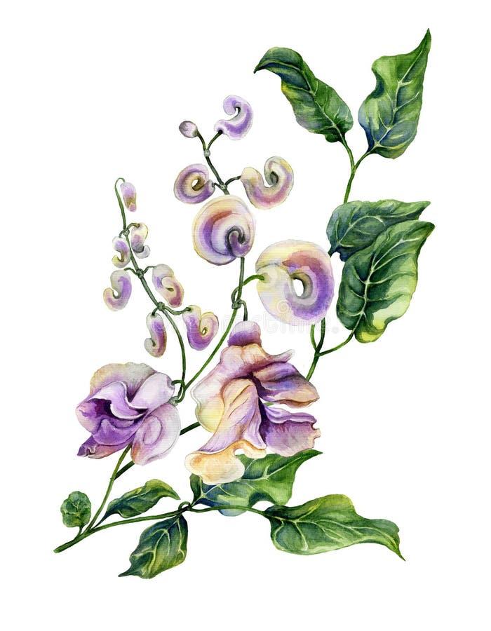 Bello ramoscello di caracalla di Cochliasanthus della vite della lumaca con i fiori e le foglie verdi del purpe Isolato su priori illustrazione vettoriale