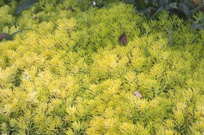 Bello reflexum succulente di Sedum del groundcover fotografia stock libera da diritti