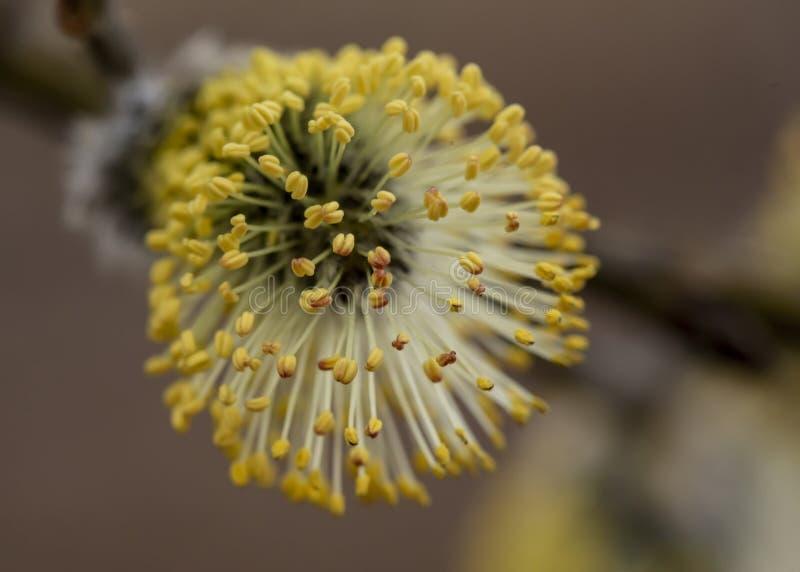 Bello, rene giallo lanuginoso di un salix caprea del salicone con polline, su una parte anteriore tenue, un giorno di molla caldo fotografia stock