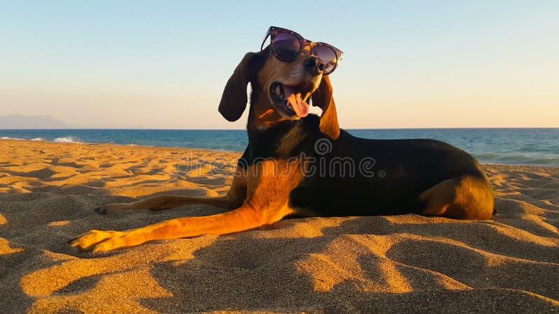 Bello ritratto degli occhiali da sole d'uso di un cane di caccia alla spiaggia contro il tramonto immagini stock