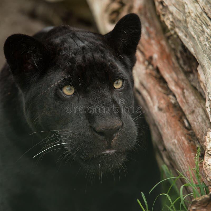 Bello ritratto del pardus della panthera della pantera nera in variopinto immagini stock libere da diritti